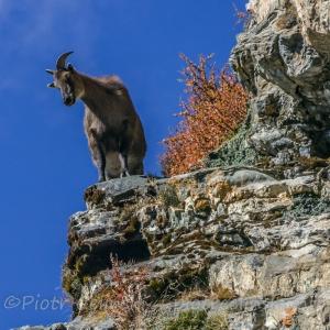 Himalajska kozica