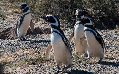 Pingwiny Magellana – Galeria w Drodze
